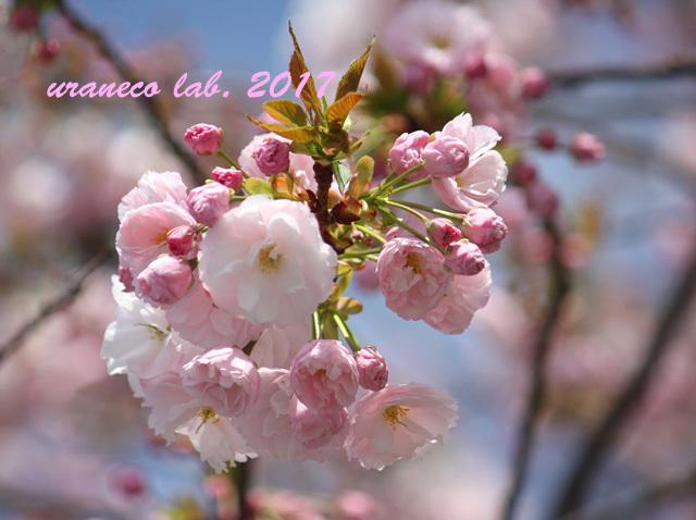 4月11日八重桜