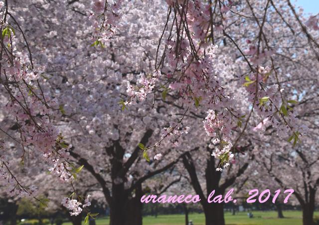 4月13日枝垂桜7