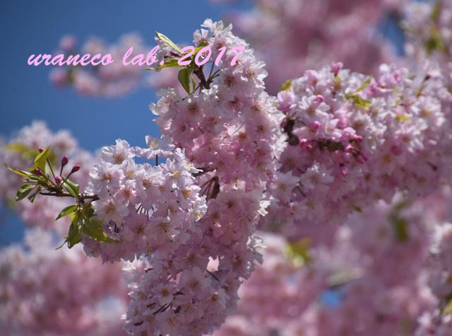 4月13日枝垂桜6