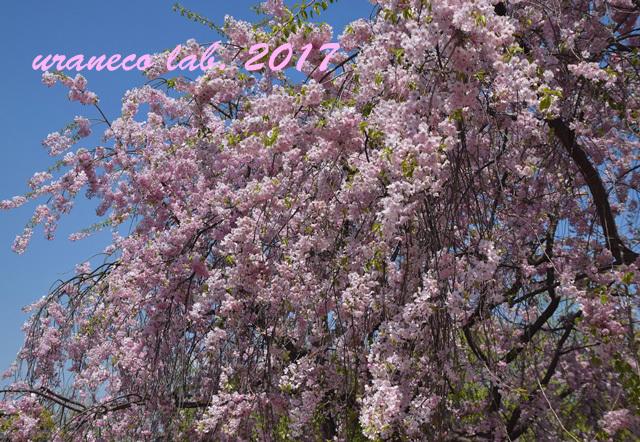 4月13日枝垂桜5