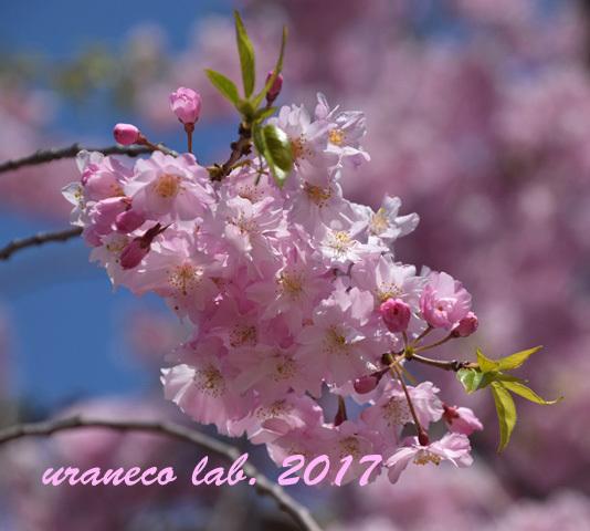 4月13日枝垂桜4