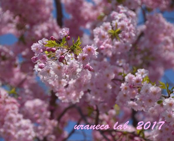 4月13日枝垂桜3
