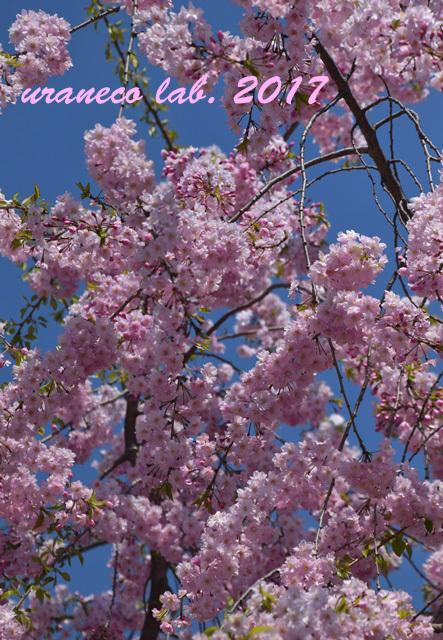4月13日枝垂桜2