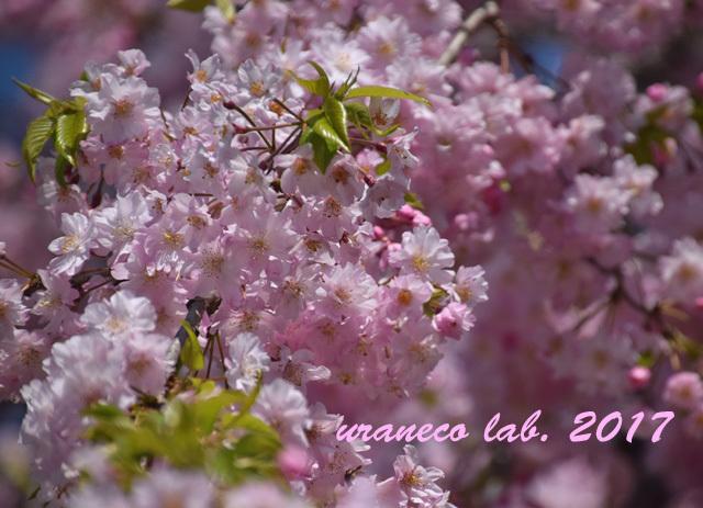 4月13日枝垂桜