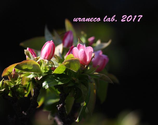 4月11日マルメロ