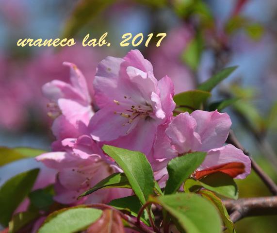 4月13日花海棠