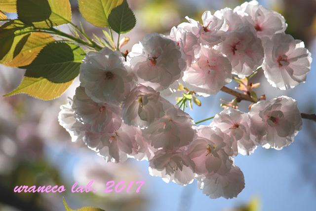 4月17日八重桜