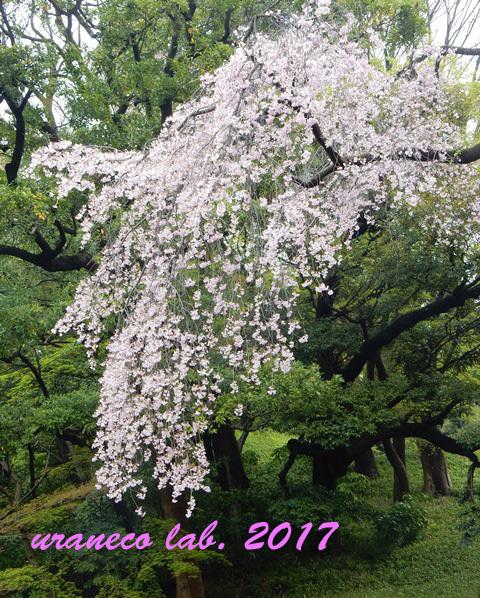 4月20日小石川後楽園3
