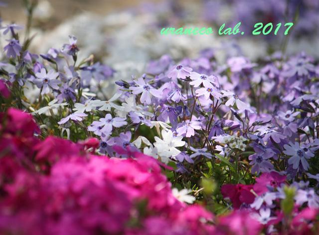 4月21日芝桜