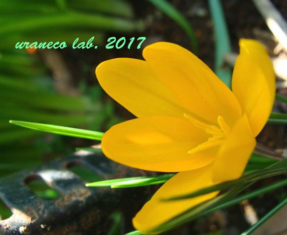4月21日黄色いクロッカス