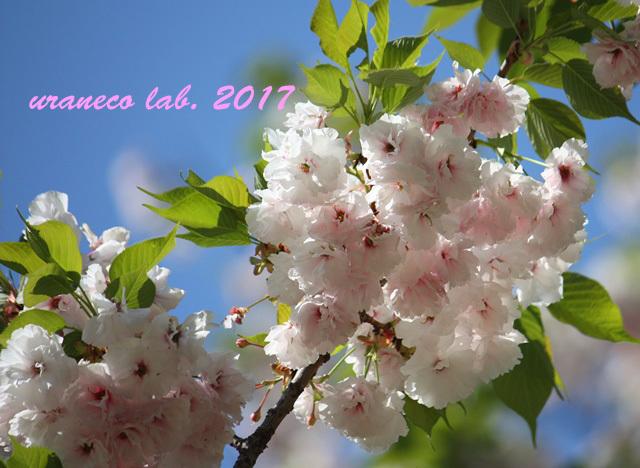 4月17日八重桜8