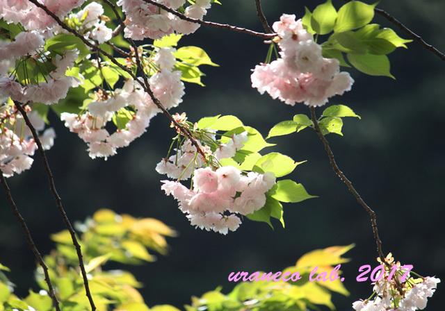 4月17日八重桜7