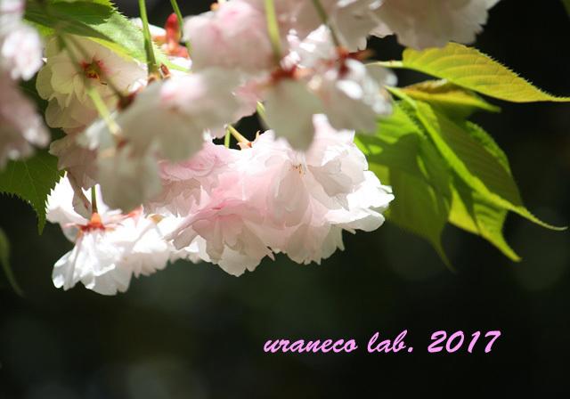 4月17日八重桜3