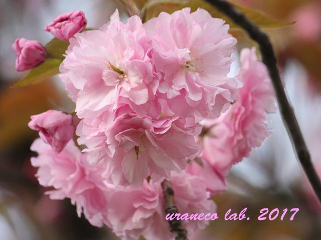 4月17日八重桜2