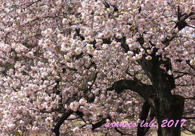 4月17日八重桜の木