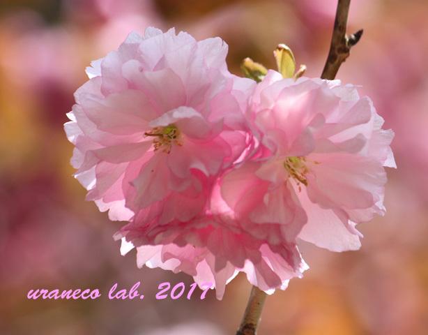 4月17日八重桜ドリーム