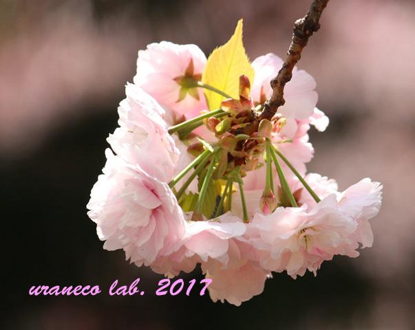 4月17日八重桜9