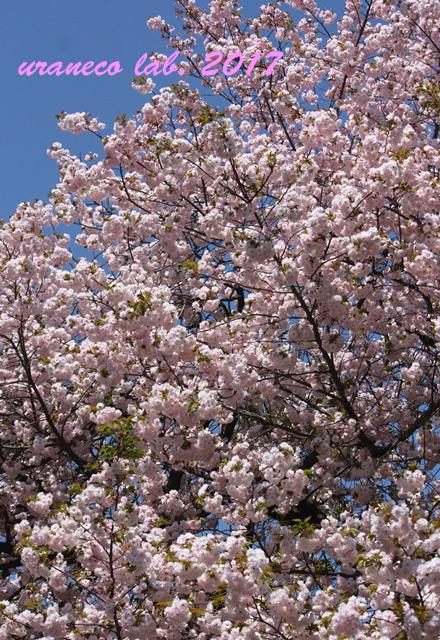 4月21日八重桜の木2