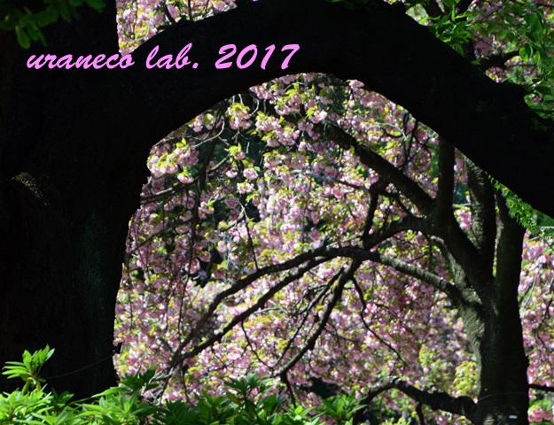 4月24日八重桜チラ見