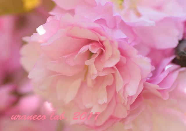 4月21日八重桜8