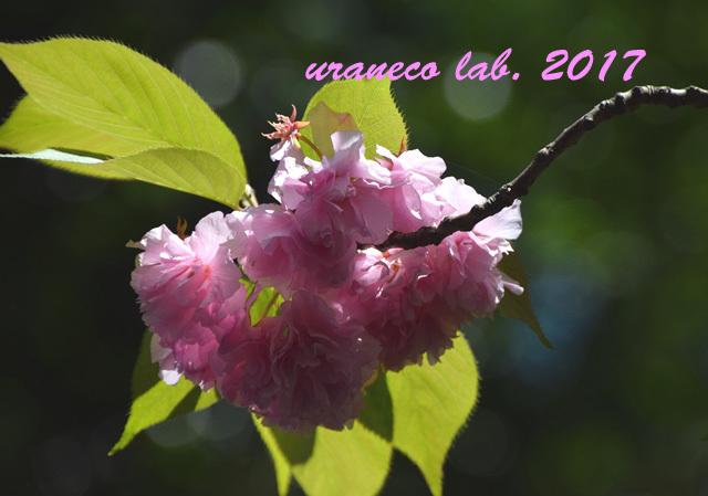 4月24日八重桜逆光