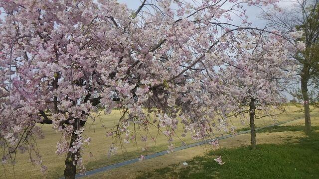 桜散り始め