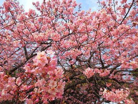 IMG_9682河津桜
