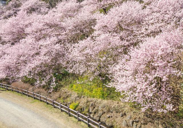 春めき桜1_01