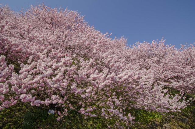 春めき桜3_01