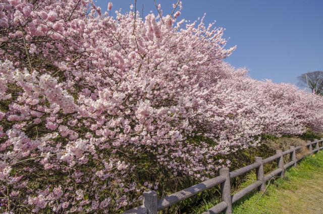 春めき桜4_01