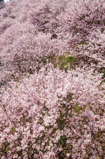 春めき桜5_01