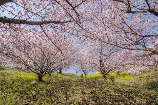 春めき桜6_01