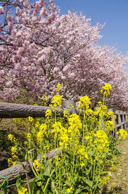 春めき桜8_01