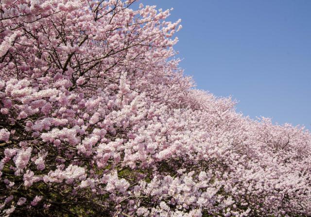 春めき桜9_01
