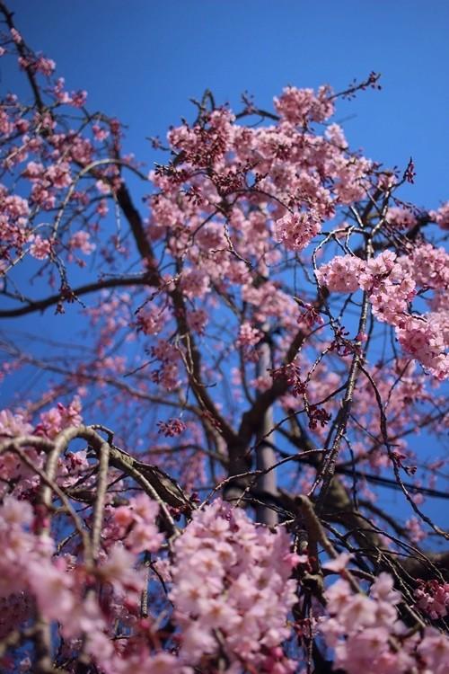 無量寺 しだれ桜