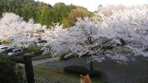 多度山の桜、H29-03