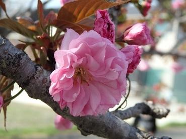 0422八重桜