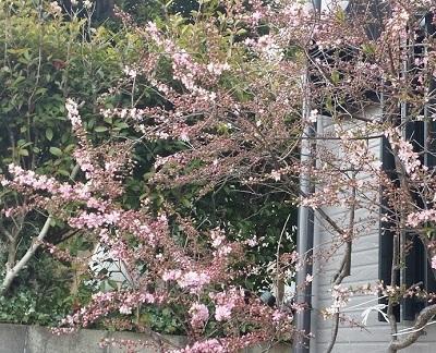 170403_sakura.jpg