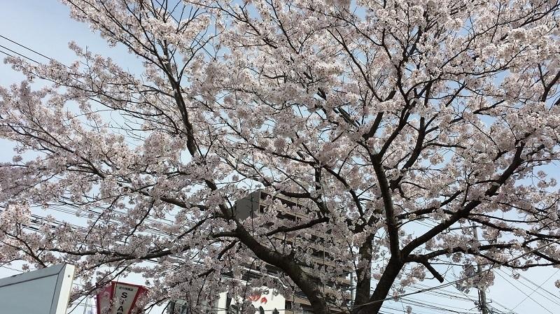 170408_sakura1_02.jpg