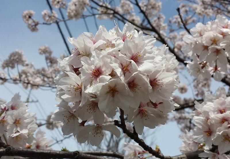 170408_sakura1_03.jpg