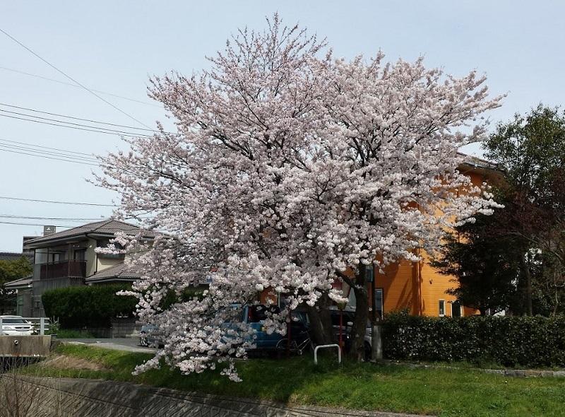 170408_sakura1_04.jpg