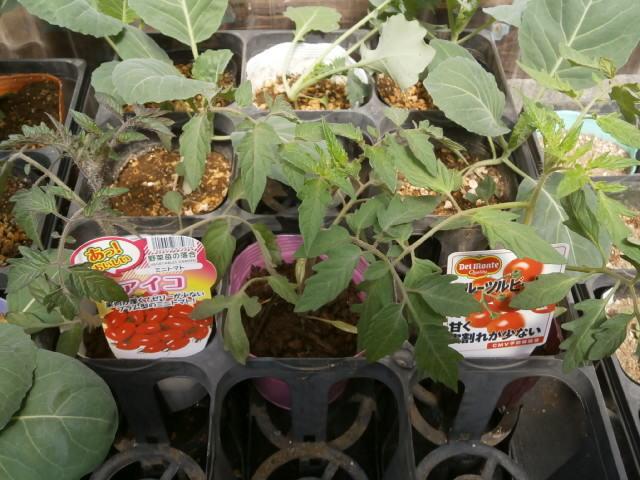トマトの苗を購入