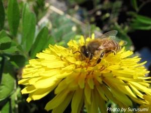 たんぽぽ&ミツバチ