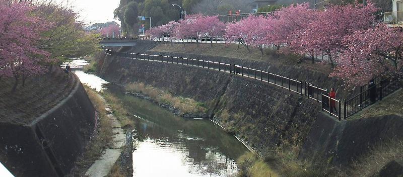 川沿いの掛川桜