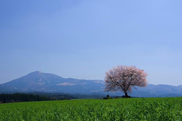 IMGP9229-0 RH100A- 一本桜