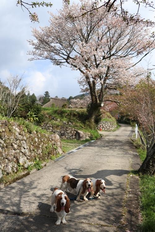 三多気の桜0007