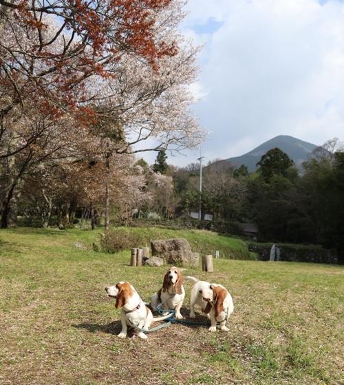 三多気の桜0003