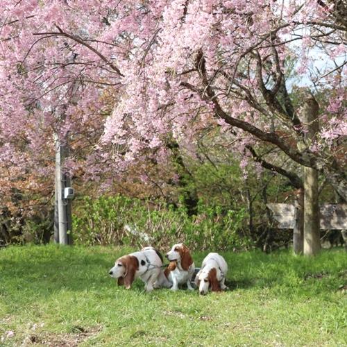 三多気の桜0002