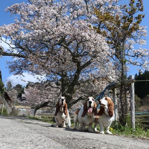 三多気の桜0016