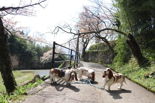 三多気の桜0014